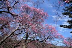 アカヤシオ咲くミツモチ山