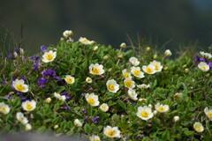 岩場の花盛り