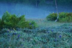朝霧のリンドウ湿原