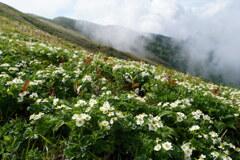 ハクサンイチゲ咲く稜線