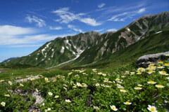 チングルマ咲く立山室堂