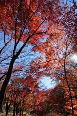 モミジ街道の秋
