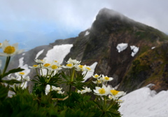 ハクサンイチゲ咲く谷川岳