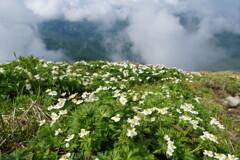 雲湧くハクサンイチゲの楽園