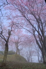 朝霧の桜並木