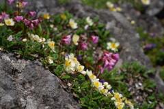 岩場咲く花達