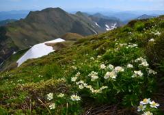 ハクサンイチゲ咲く稜線へ