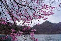 アカヤシオ咲く中禅寺湖