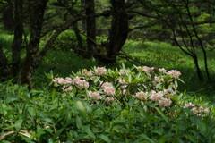 森に咲くハクサンシャクナゲ