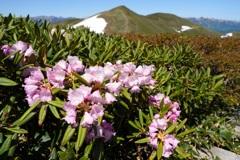 シャクナゲ咲く平標山
