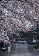 桜雪の参道