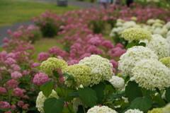 梅雨の花見