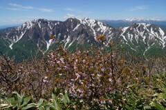 ミネザクラ咲く谷川連峰