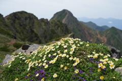 チョウノスケソウ咲く横岳の峰
