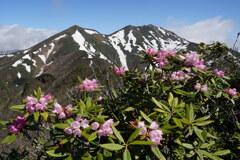 残雪の尾根咲くシャクナゲ