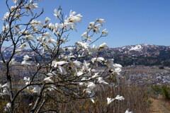 タムシバ咲く上越の春