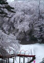雪桜の公園で