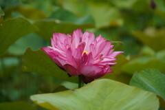 八重に咲く蓮