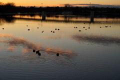 水鳥たちの朝