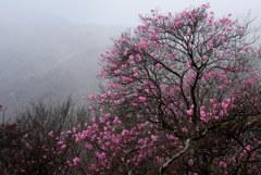 霧の中のアカヤシオ