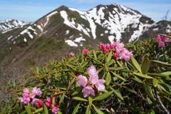 シャクナゲ咲く谷川連峰