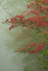 霧に浮かぶヤマツツジ