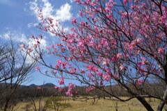 アカヤシオ咲く高原