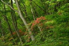 ヤマツツジ咲く森