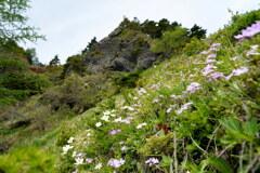 アサマコザクラ咲く花畑
