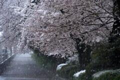 雪降る桜街道