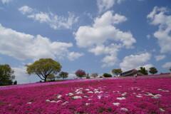 雲浮かぶ芝桜公園