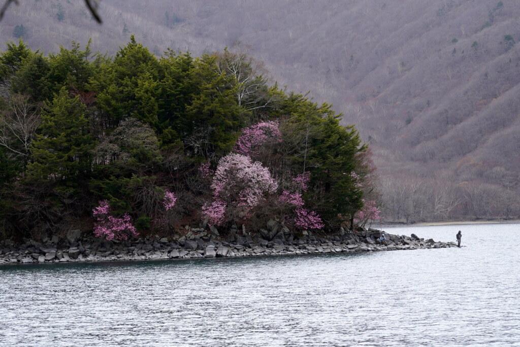 アカヤシオ染まる湖畔
