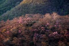 朝陽差すアカヤシオの丘
