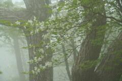 霧とシロヤシオ
