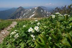 ハクサンイチゲ咲く谷川連峰