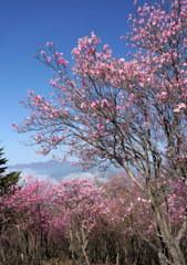 アカヤシオ咲く袈裟丸山