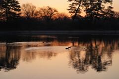 暁湖面と水鳥