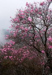 霧の中のアカヤシオ 2