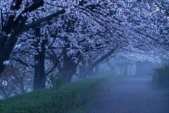 朝霧の桜道