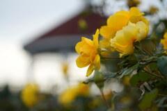 秋バラ咲く敷島公園