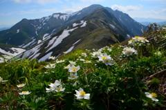 ハクサンイチゲ咲く谷川主脈縦走路