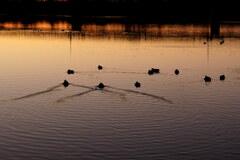朝焼けの水鳥