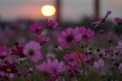 夕陽のコスモス