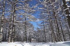 雪化粧のカラマツ林
