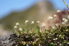 岩場に咲くミツバオーレン