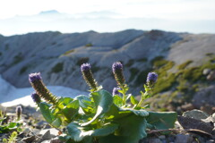 ウルップソウ咲く稜線