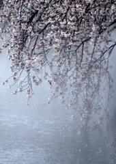 静かな桜雪