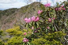 シャクナゲ咲く袈裟丸山