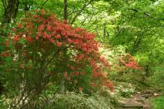 ヤマツツジ咲く小径