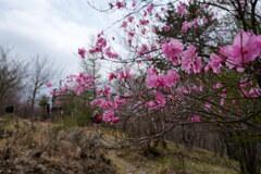アカヤシオ咲く展望台広場